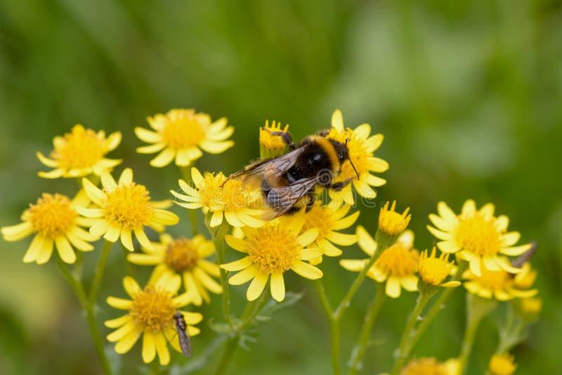 弄糟收集花粉的蜂(Anthophila)从一种金黄狗舌草 免版税库存图片