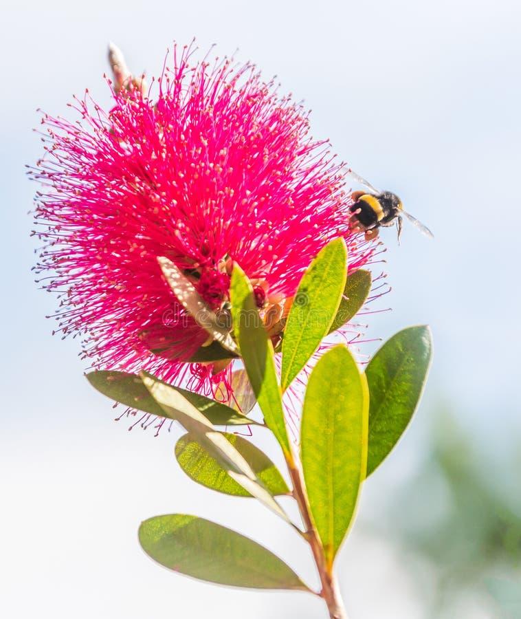 弄糟飞行近到一朵红色洗瓶刷植物花的蜂 免版税库存照片