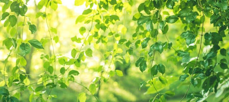 弄脏叶子bokeh在庭院早晨背景中,春天夏天 免版税库存图片