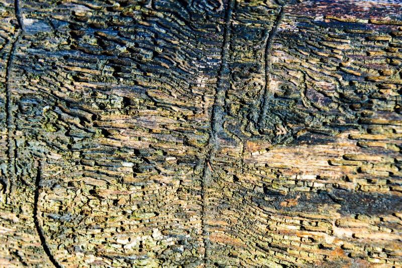 弄脏并且挖坑与质感粗糙的表面老死的木头的木纹理背景特写镜头  图库摄影