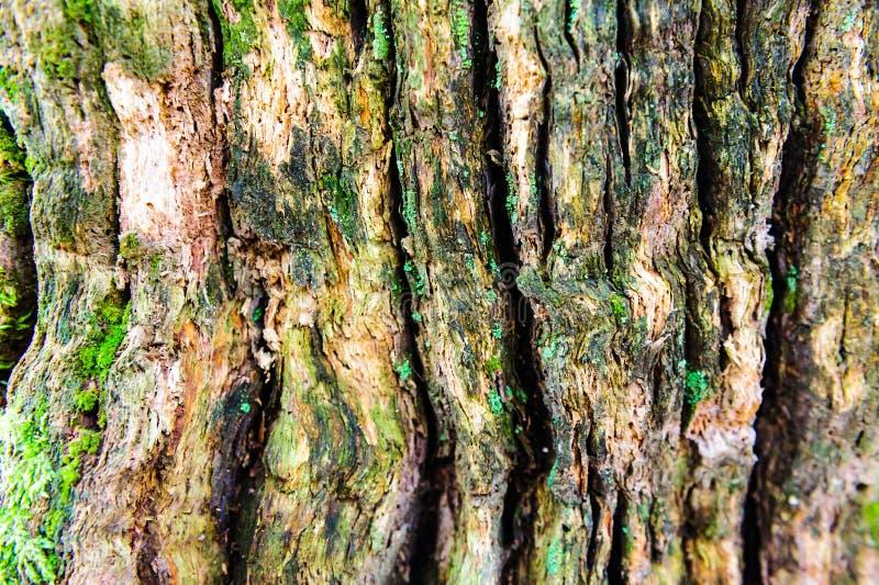 弄脏并且挖坑与质感粗糙的表面老死的木头的木纹理背景特写镜头  免版税库存照片