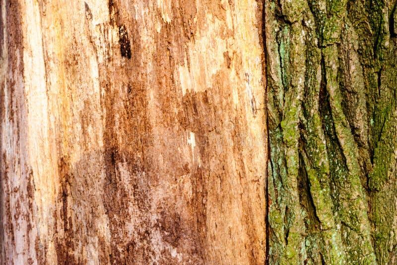 弄脏并且挖坑与质感粗糙的表面老死的木头的木纹理背景特写镜头  免版税库存图片