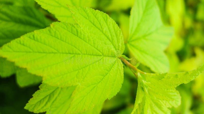 弄脏绿色叶子纹理背景,自然背景 免版税图库摄影