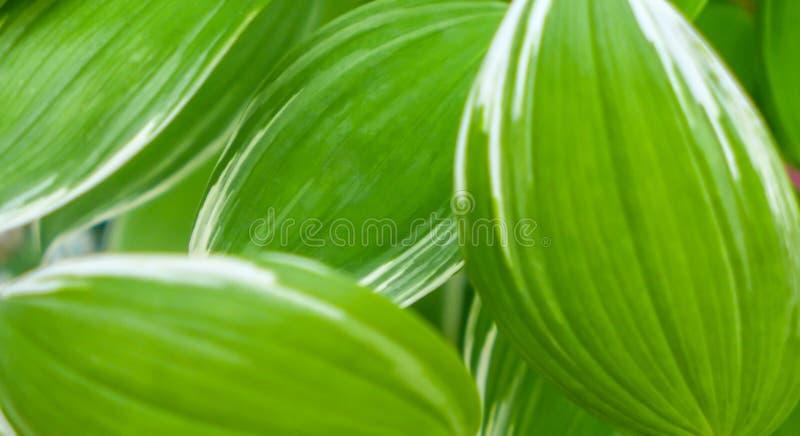 弄脏绿色叶子纹理背景,自然背景 免版税库存照片