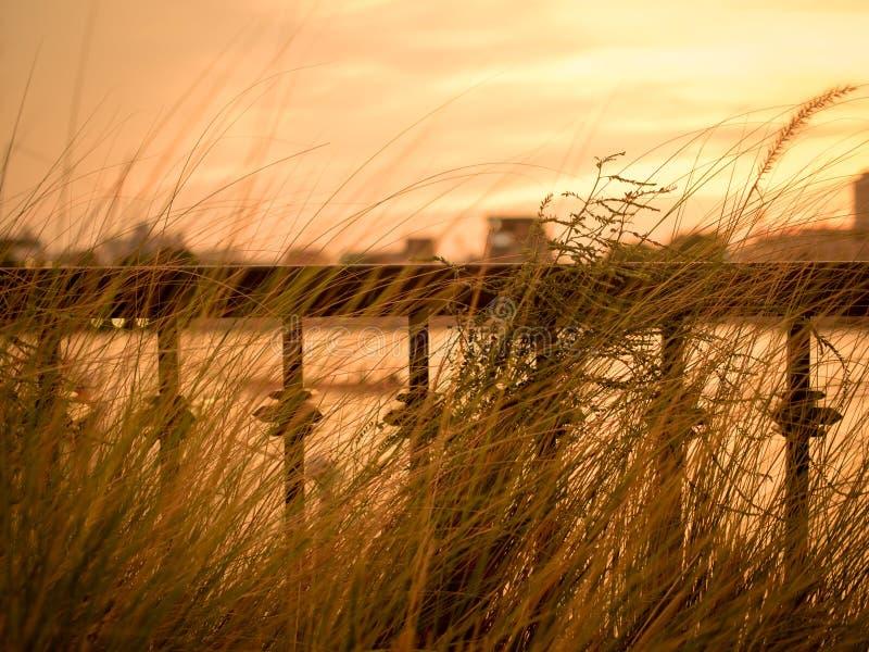 弄脏defocus葡萄酒草花田本质上与河的在背景中 Imperata cylindrica Beauv,在nat的草地风景 免版税库存照片