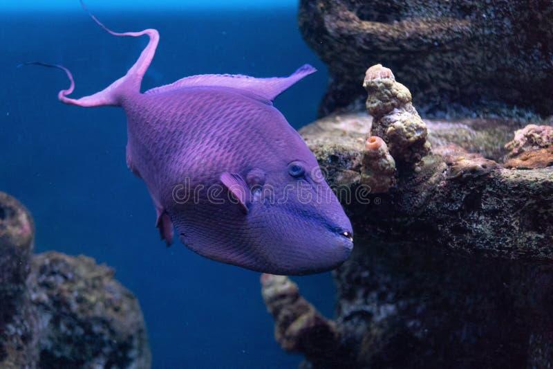 引金鱼Krasnopolye或女王/王后黑色触发器,与强的牙raskrytaya的红被刻凹痕的红色犬齿触发器异乎寻常的英俊的鱼 免版税库存照片