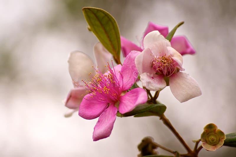 弗吉尼亚或犬蔷薇