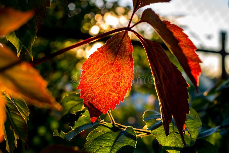 弗吉尼亚爬行物美丽的叶子由落日点燃了 库存照片