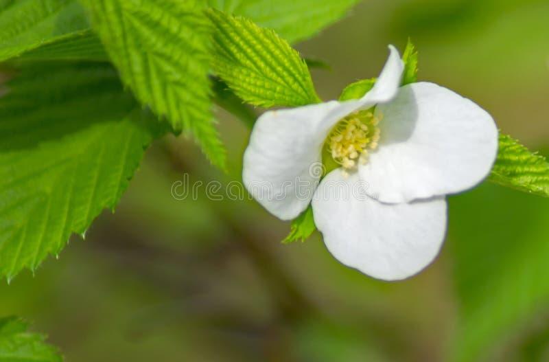 弗吉尼亚野草莓花的特写镜头 库存图片