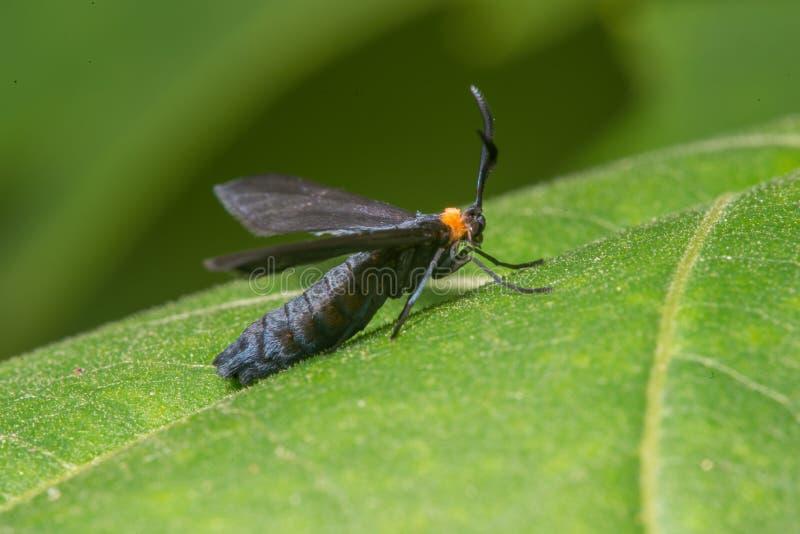 弗吉尼亚ctenucha白天飞蛾种类特写镜头宏指令-在西奥多威尔斯公园在明尼苏达 图库摄影