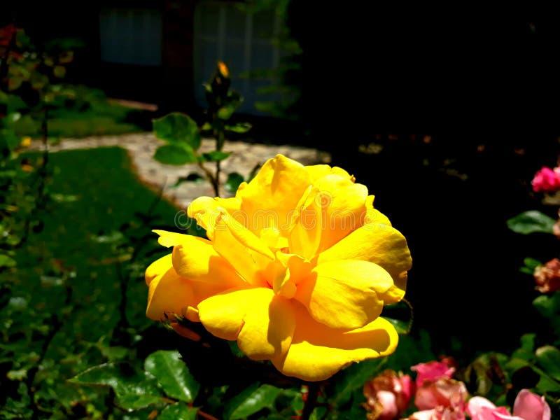 弗洛尔颜色阿马里洛黄色花 库存图片