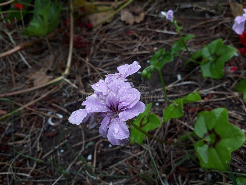 弗洛尔lila丁香花 库存图片