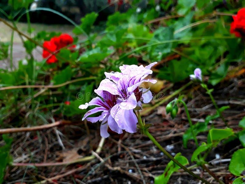 弗洛尔lila desenfocada HD 图库摄影