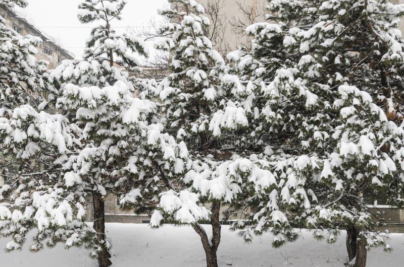 弗罗斯特云杉树在冬天公园 库存照片