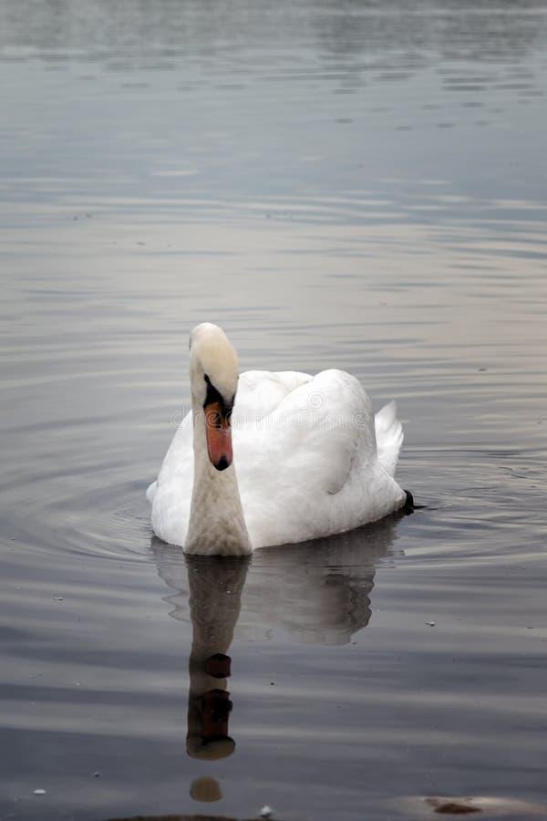弗雷明汉湖的天鹅 库存照片