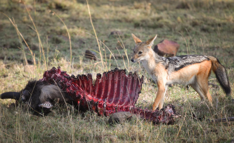 紧张的狐狼 免版税库存图片