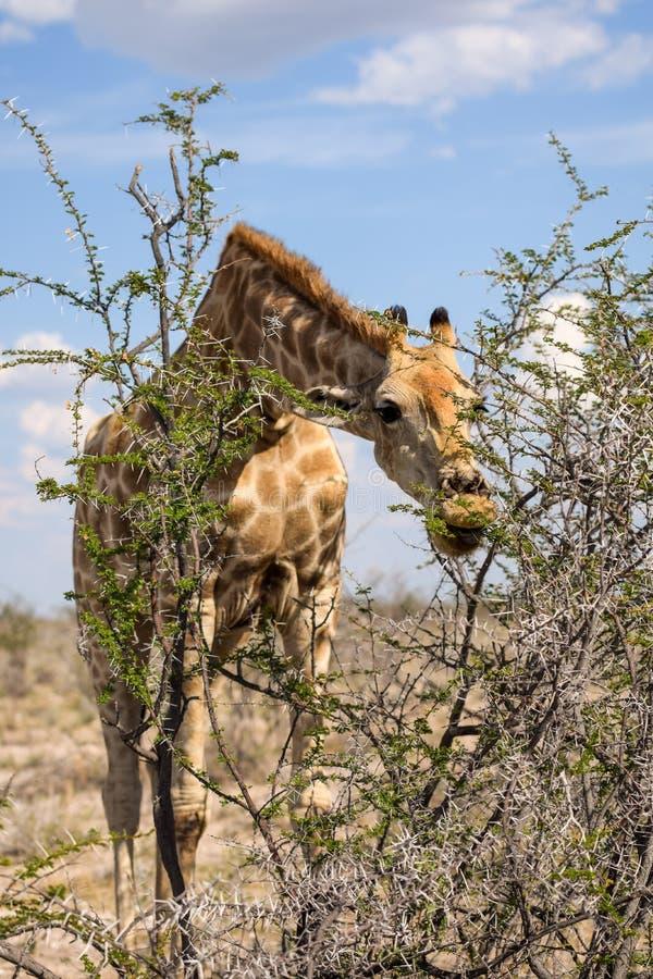 弯下来观点的关闭的长颈鹿吃金合欢树离开 免版税库存照片