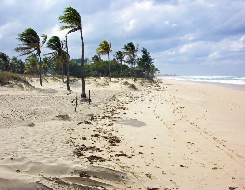 弯曲在一个海滩的风的棕榈树在古巴 免版税库存照片