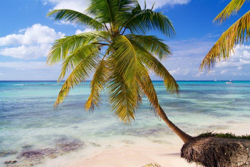 弯曲在加勒比海的棕榈 库存照片