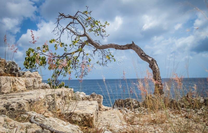 弯曲在被风吹扫树-库拉索岛景色 免版税库存照片