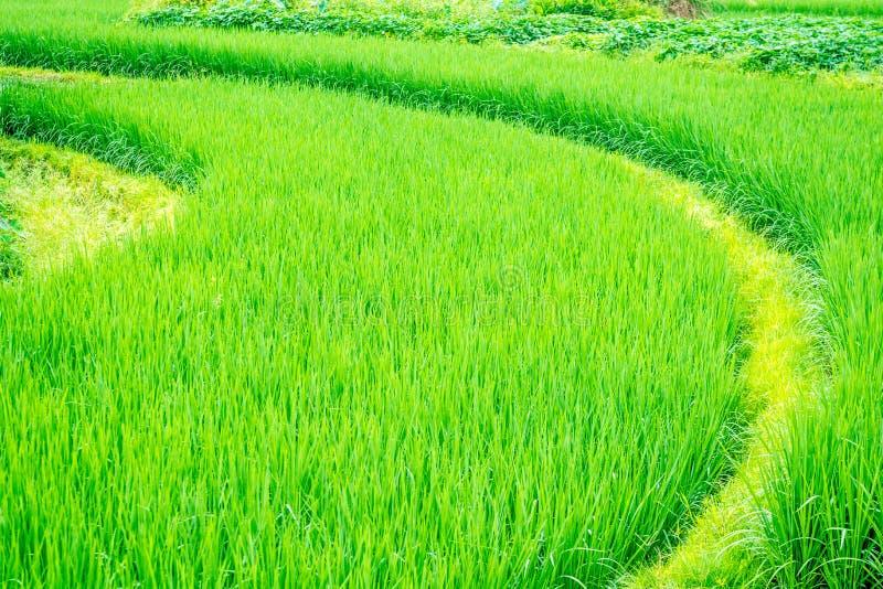 弯曲的被种植的米 库存照片