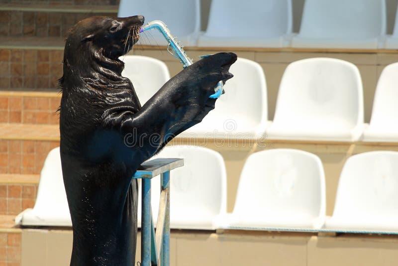 弹在一个水生展示的海狗萨克斯管 免版税图库摄影