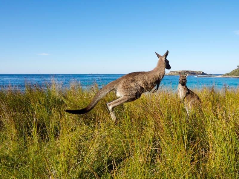 弹起在澳大利亚海滩的袋鼠 免版税库存图片