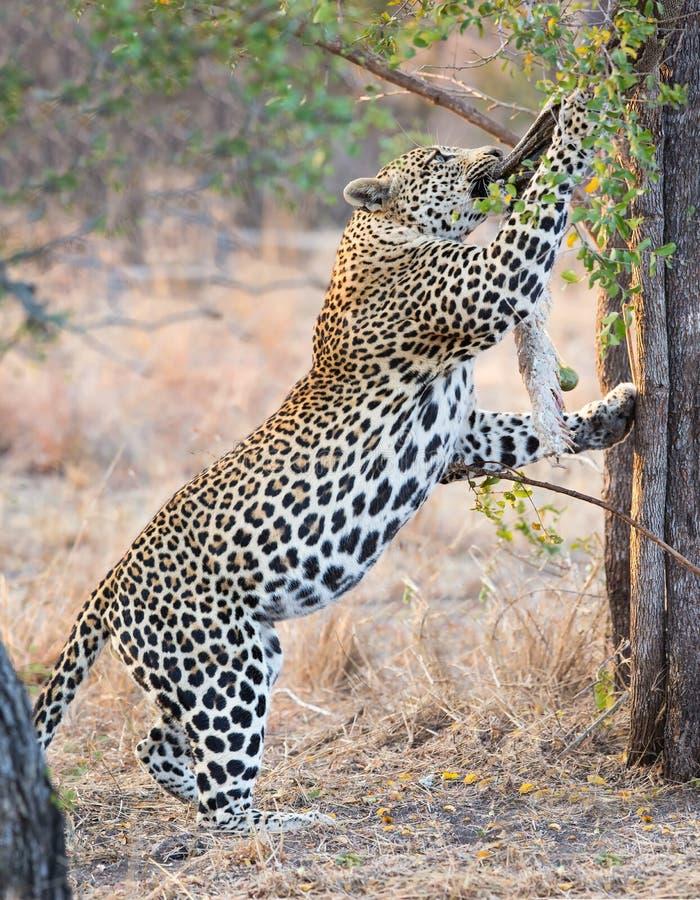 强和饥饿的豹子抓住吃的岩石Python 免版税图库摄影