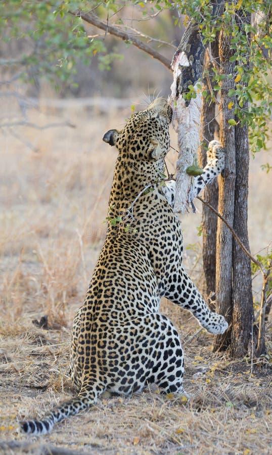 强和饥饿的豹子抓住岩石Python 库存照片