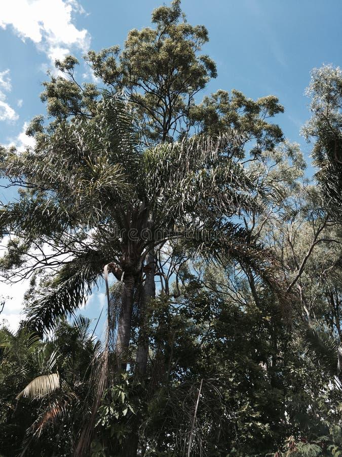 强大产树胶之树 免版税库存图片