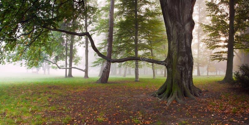 强大山毛榉树在有雾的公园 免版税库存图片