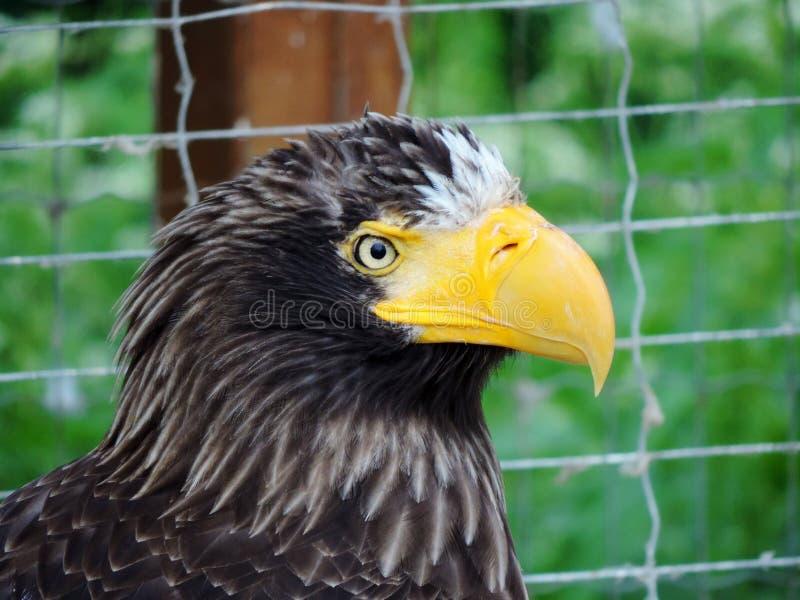 强大的老鹰 免版税库存图片
