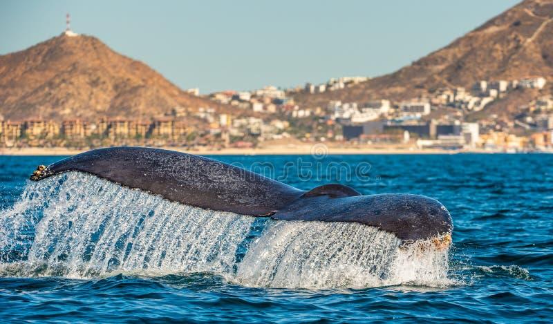 强大驼背鲸的尾在海洋的表面的上 科学名字:Megaptera novaeangliae   库存照片
