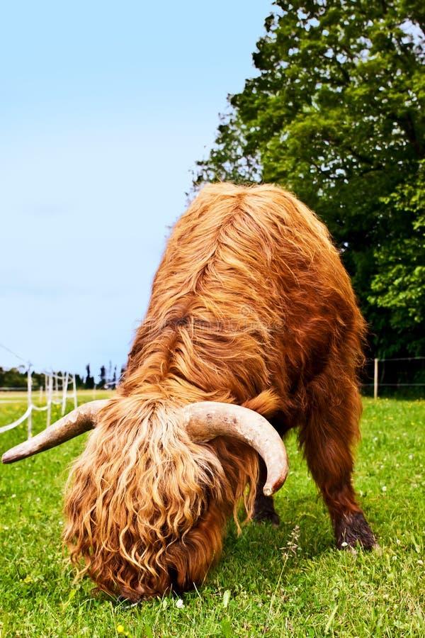 强大higland牛吃着草 图库摄影