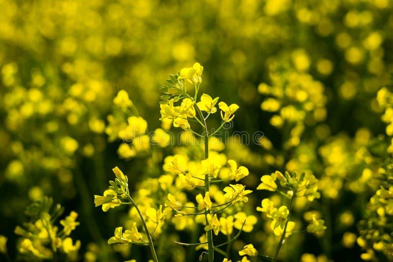 强奸草甸在蓝天,与多云天空, Yel的金黄强奸领域下 免版税库存照片