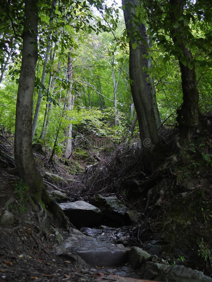 强有力的树根源于森林丛林在高落叶树附近 免版税库存照片
