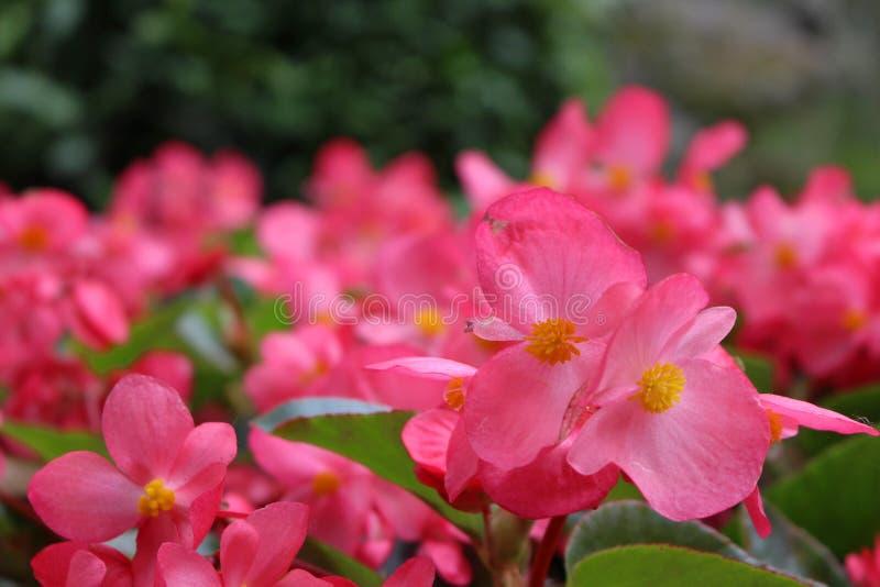 强的红色花正面图在中国的庭院-在前面的焦点里 免版税库存照片