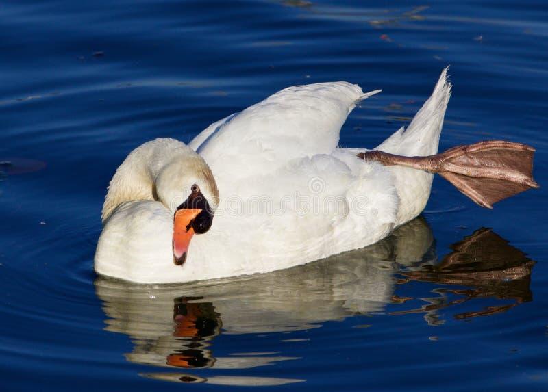 从强的美丽的疣鼻天鹅的瑜伽教训 图库摄影图片