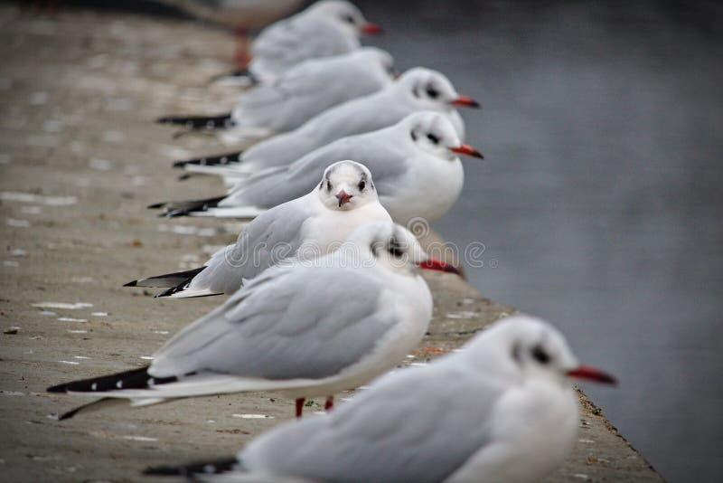 当他们中的一个固定摄影师时,黑带头的鸥栖息在看横跨水的码头边缘 免版税库存照片