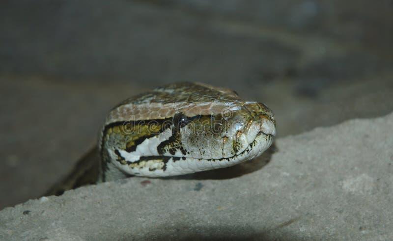 当前它的蛇顶头 免版税库存图片