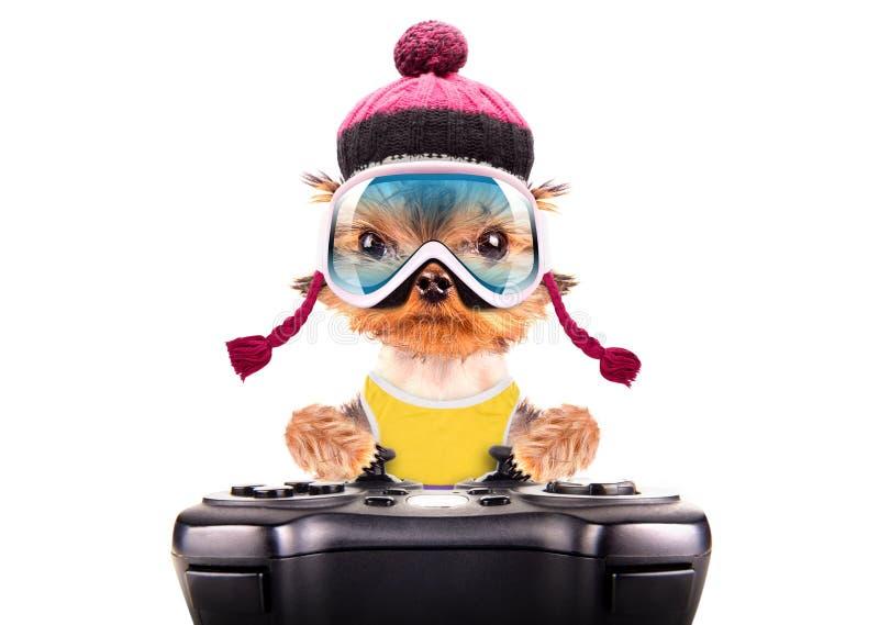 当在比赛垫的滑雪者戏剧穿戴的狗 免版税库存照片