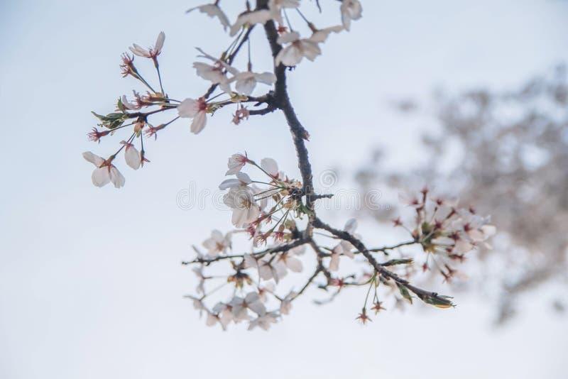 当在韩国叫作樱花时,这在日本开花叫作佐仓a 图库摄影