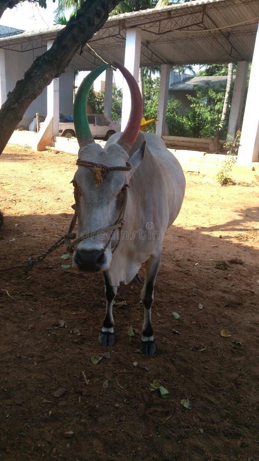 当地印地安牛品种 免版税库存图片