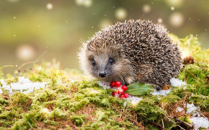 当地欧洲猬在冬天用红色莓果、雪和绿色青苔 免版税图库摄影