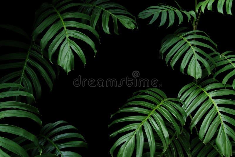 当地Monstera深绿叶子热带森林植物常青藤,自然在黑背景的叶子框架 库存照片