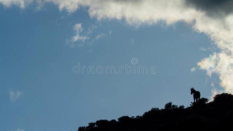 当太阳在他后升起反对天空蔚蓝,一匹孤立马在一个象草的小山顶的冠站立 库存照片