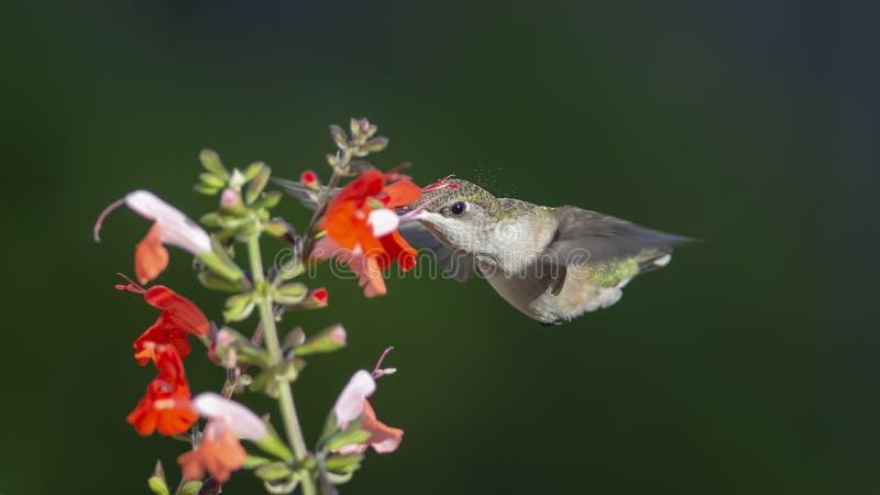 当她进入花,花粉从她的冠飞行 免版税库存照片