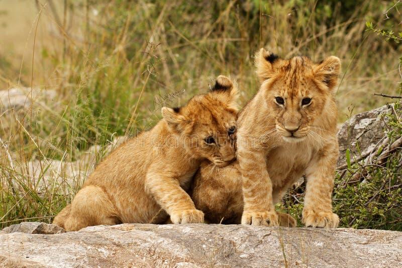当幼童军狮子年轻人 库存照片