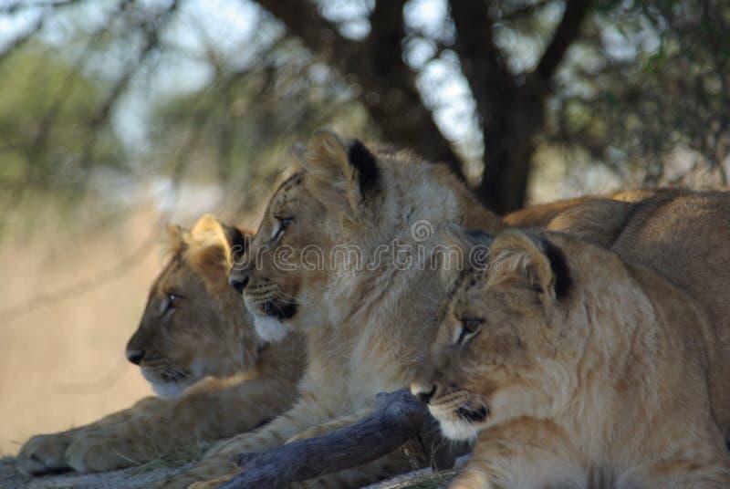 当幼童军狮子 免版税图库摄影
