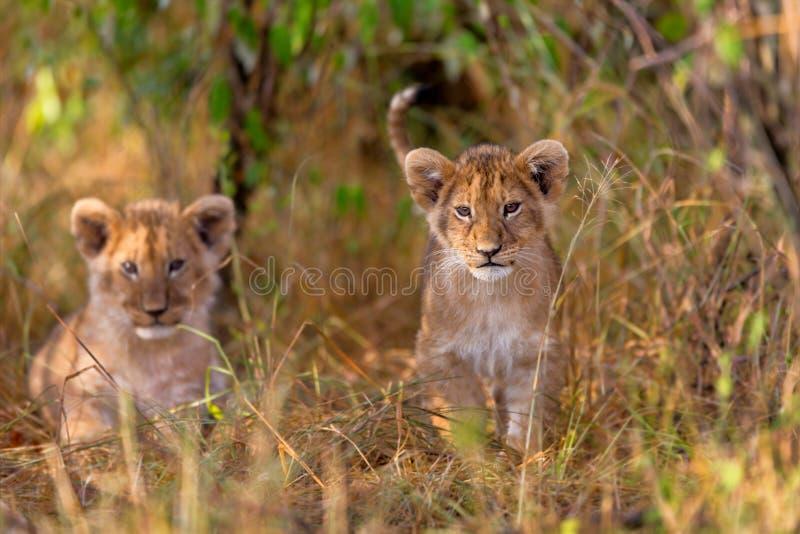 当幼童军逗人喜爱的狮子 免版税图库摄影